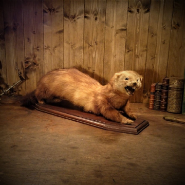 Taxidermy Polecat Mustela Putorius